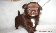 Chihuahua nhập khẩu – Bán đàn chó chihuahua nhập khẩu Ucraina.