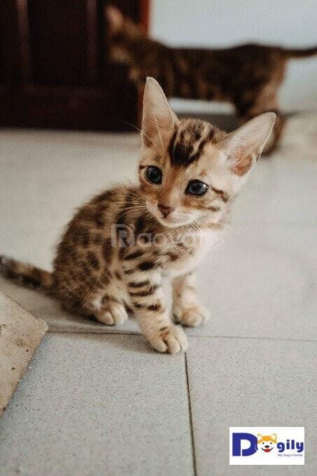 Nhận cọc đàn mèo Bengal 1 tháng tuổi cực dễ thương