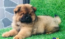 Mở bán đàn chó Chow Chow tháng 1 cực bụ bẫm đáng yêu