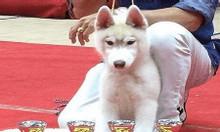 Husky – Bán chó Husky bố mẹ nhập siêu đẹp, đạt nhiều giải