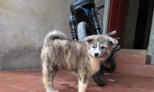 Akita Inu – Đàn chó con của cặp Kaito – Xuka nhập khẩu Nga.