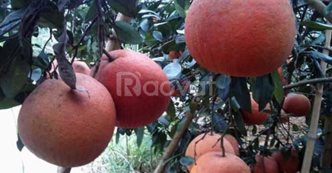 Giống bưởi đỏ Luận Văn, cây giống f1 địa chỉ cung cấp giống chuẩn