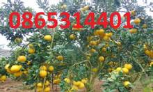 Cung cấp giống bưởi diễn chuẩn giống giá cả hợp lý cho dòng cây f1
