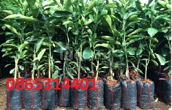 Bưởi da xanh cung cấp cây giống chuẩn f1, giá hợp lý