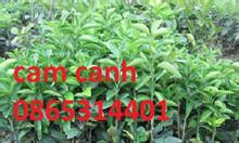 Cung cấp giống cam đường canh, cây giống chuẩn f1, giao hàng toàn quốc