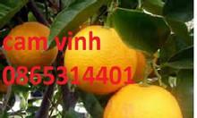 Những lưu ý khi trồng và chăm sóc cây cam vinh giống cây chất lượng