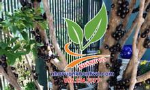 Cần bán cây nho thân gỗ Brazil, đẳng cấp sân vườn 2019