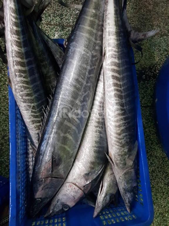 Cá Thu nguyên con hoặc cắt khoanh giá sỉ tận gốc