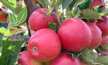 Cây táo lùn Mỹ ruột đỏ trồng được tại nhà