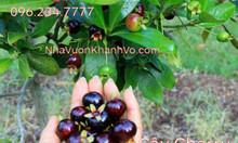 Bán cây cherry Brazil - cây giống - cây đang trái