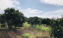Bán đất vườn diện tích 9925 mét vuông trồng nhãn do đang thu hoạch