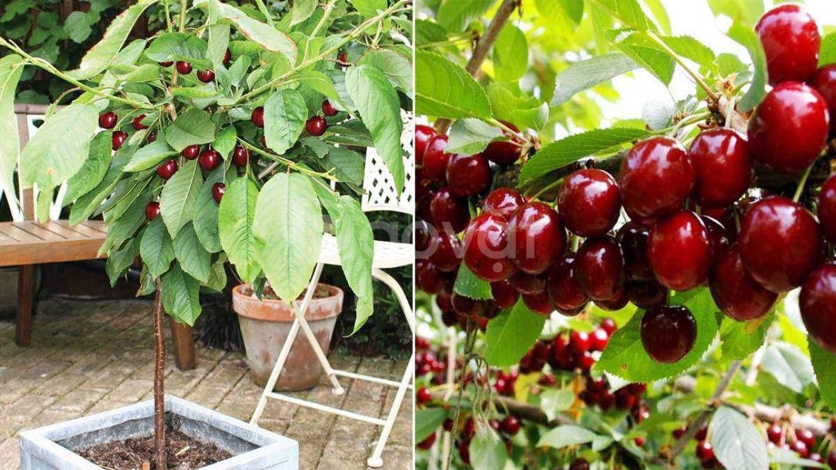 Loại quả kim cương dành cho sức khỏe -Cherry Mỹ