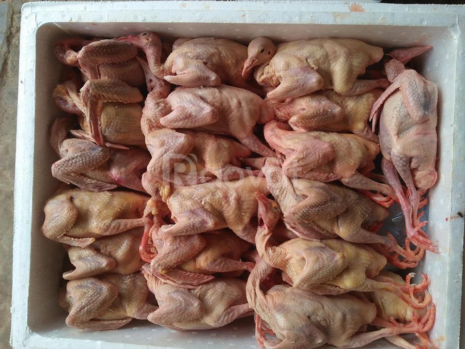 Bán chim bồ câu Thịt tươi sạch tại Hà Nội
