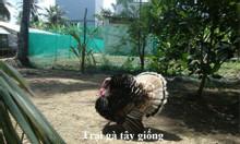 Cung cấp giống gà tây HuBa của Hungary (Trọng lượng lớn)