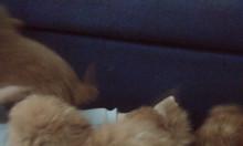 Bán 2 em Poodle nâu đỏ được 2 tháng tuổi cực yêu.