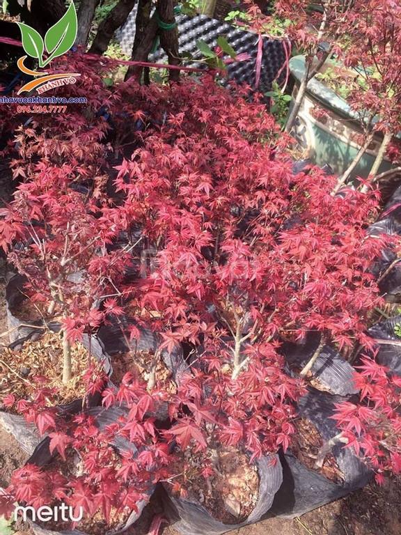 Cây Phong Lá Đỏ cây trồng cảnh quan độc đáo