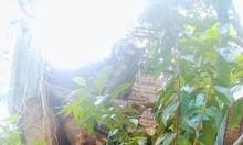 Phôc hươu đực socola 7 tháng tuổi ở Hóc Môn đây