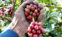 Nhà máy rang xay cafe buôn ma thuột kiều hoa cung cấp cafe sạch, ngon