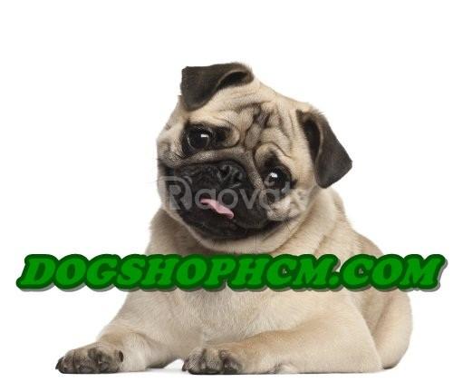 Bán chó pug mặt nhăn mặt xệ