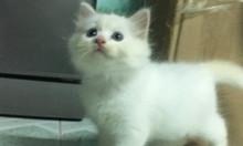 Tìm chủ mới cho 3 Bé Mèo Anh LD mắt 2 màu Xanh và Nâu