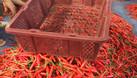 Rổ ớt 7kg - rổ xuất khẩu (ảnh 3)