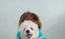Bán bé Poodle cái trắng 1 năm tuổi Tp.HCM