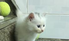 Còn duy nhất 1 Bé Mèo Anh Lông dài màu Trắng 2.5tr/bé