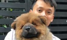 Bán đàn chó chow chow mini