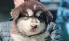 Bán đàn chó alaska
