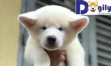 Bán chó akita thuần chủng bố mẹ nhập