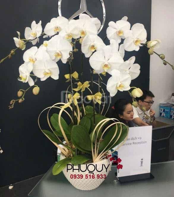 Shop bán hoa lan hồ điệp tai Hà Nội - Mẫu chậu hoa lan hồ điệp trắng