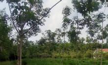 Cần bán đất mặt tiền đường nhựa KCN Bàu Bàng (SHR)