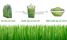 Bột cỏ lúa mì mua ở đâu, tác dụng bột cỏ lúa mì