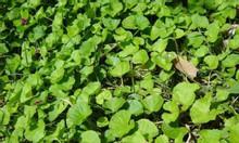 Bán hạt giống rau má đồng loại lá nhỏ