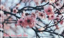 Mùa hoa anh đào đến sớm ở xứ sở chuột túi