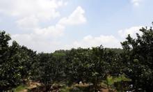 Đất vườn trồng bưởi - Đất Vĩnh Cửu, Đồng Nai