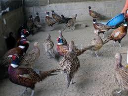 Trang trại Thụy Phương bán gà sao giống
