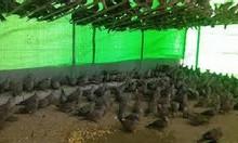 Trang trại Thụy Phương bán chim ngói