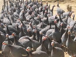 Trang trại Thụy Phương bán chim cút giống