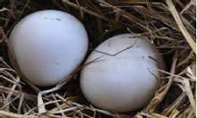 Trứng ngỗng quê nhà