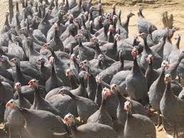 Trang trại Thụy Phương bán gà ác giống