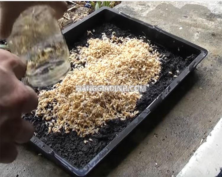 Hạt giống cỏ lúa mì hữu cơ bao nảy mầm 10kg tính giá sỉ