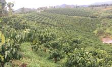 Cần bán gấp vườn sau thác Đamri Bảo Lộc gần chùa Adiđà 7300 m2