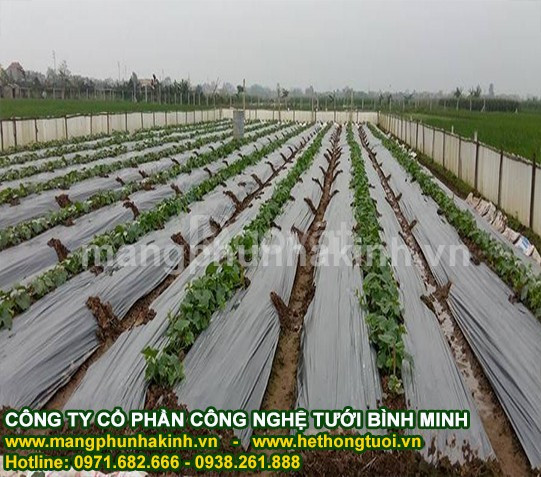 Màng PE phủ nông nghiệp, màng phủ luống, màng phủ nông nghiệp giá rẻ