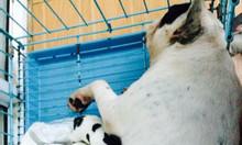 Bác Sỹ Thú Y khám chữa bệnh chó mèo ở Vĩnh Yên Vĩnh Phúc