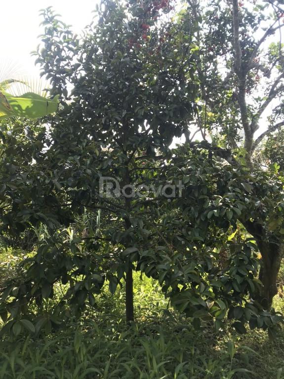 Vườn sinh thái trái cây , suối bao quanh 1000m2 chỉ có 890 triệu