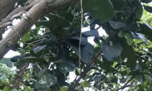 Vườn cây ăn trái cách quốc lộ 1a 700m giá 890 triệu đồng