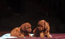 Đàn Poodle thuần chủng nâu đỏ đậm đẹp.