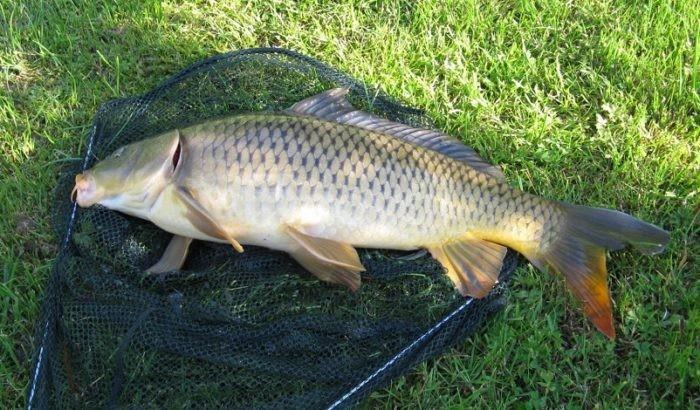 Mồi câu cá Chép mới - Mồi câu cá Hùng Vương