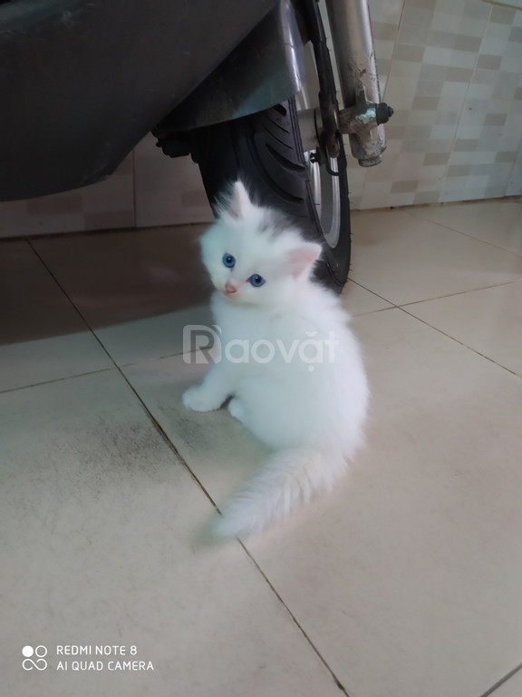 Bán mèo anh lông dài  3 trắng, 1 mun 1,99tr/bé